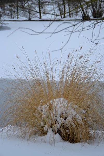 Herbes sous la neige